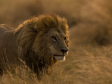 Male African Lion  Panthera Leo  in Golden Grasslands