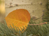 Close-up of a Colorful Quaking Aspen Leaf Lying on a Conifer Branch
