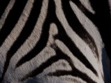 Close Up of the Fur of a Burchell's Zebra