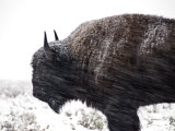 Buffalo Bracing Himself Against the Snow Papier Photo par National Geographic Photographer