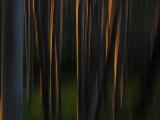 Sunlight on Aspen Tree Trunks