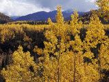 Aspen Trees in Autumn Hues Glow Golden in Denali National Park