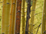 Close Up of Aspen Tree Trunks in the Fall