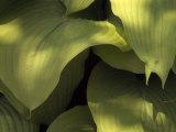 "Close Up Detail of Hosta ""Sun Power"" Leaves"