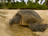 Hawksbill Turtle Crawling Back to Sea after Laying Eggs on the Beach