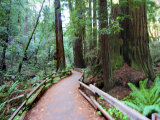 Trail and Redwoods in Muir Woods National Monument  California