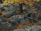Leaves from a Tree Growing Among Rocks in the Fall