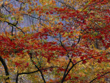 Branches of Red Maple Tree Weave a Colorful Fall Tapestry