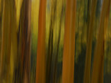Close Up and Soft Focus of Aspen Trees in the Fall
