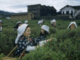 Women Harvest Tea Leaves Near a Processing Plant