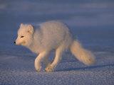 White Arctic Fox (Alopex Lagopus) Runs across a Snowy Landscape