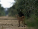 Puma Stands at the Edge of a Road