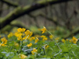 Marsh Marigolds  Caltha Palustris  Among Fallen Trees in a Wetland