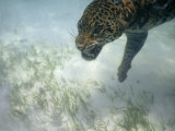 Jaguar Takes a Swim in the Clear Water Off the Shore of Cancun