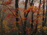 Fog and Colorful Maple Leaves in Appalachian Forest on Paint Mt Road