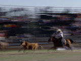 Rodeo Cowboy Trying to Lasso a Running Steer