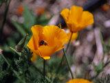 Bee Drinking from a California Poppy