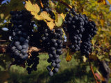 Close View of Black Grapes Growing on a Vine