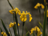 Close Up of Yellow Irises in Bloom