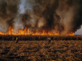 Field Hands Watch Fire Burn Through Sugar Cane Field Ready to Harvest