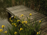 Yellow Irises Blooming by a Small Deck in a Calm Pond