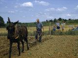 Children Watch a Farmer and His Mule Cultivate a Tobacco Field