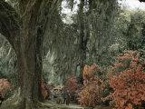 Live Oak Tree Draped with Spanish Moss Dwarfs Tourists Strolling Path