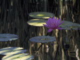 Lotus Water Lily Pads and Bloom in Calm Water