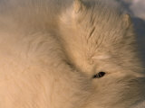 Close-up of a White Arctic Fox (Alopex Lagopus) Resting  One Eye Open