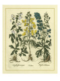 Besler Floral I