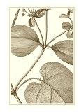 Cropped Sepia Botanical V