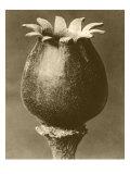 Sepia Botany Study I