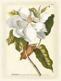 Magnificent Magnolias I Reproduction d'art par Jacob Trew