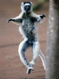 Verreaux's Sifaka Dancing in a Field  Berenty  Madagascar