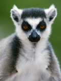 Close-Up of a Ring-Tailed Lemur  Berenty  Madagascar