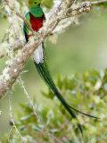 Close-Up of Resplendent Quetzal Perching on a Branch  Savegre  Costa Rica