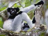 Indri Lemur Sitting on a Tree  Andasibe-Mantadia National Park  Madagascar