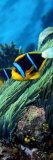 Allard's Anemonefish in the Ocean
