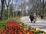 Tulips Bloom in Gulhane Park  Istanbul  Turkey
