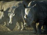 Damaraland  White Rhinoceros  Namibia