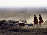 In the Early Morning  a Maasai Herdsboy and His Sister Drive their Flock of Sheep across the Dusty