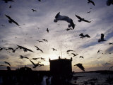 Hungry Seagulls Silhouetted Againt the Sunset in the Harbour at Essaouira  Morocco
