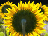 Sunflowers in the Morning Light  Provence  France