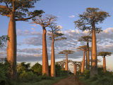 Avenue of Baobabs at Sunrise