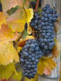 Vineyard  Bacharach  Rhine Valley  Germany
