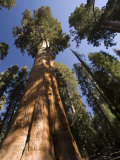 California  Sequoia National Park  General Sherman Tree  USA