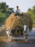 Myanmar  Burma  Bagan  A Farmer Takes Home an Ox-Cart Load of Rice Straw for His Livestock