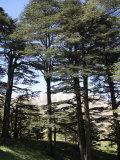 The Cedar Trees of Bcharre  Qadisha Valley  Lebanon