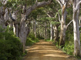 Avenue of Trees  West Cape Howe Np  Albany  Western Australia