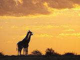 Giraffes  Silhouetted at Sunset  Etosha National Park  Namibia  Africa